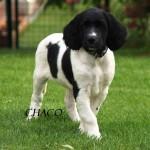 Chaco, ca. 8 Wochen alt